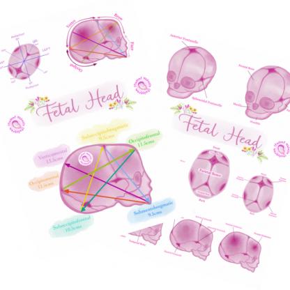 Fetal Head Posters