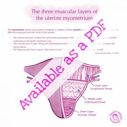 Muscular Layers of the Uterus