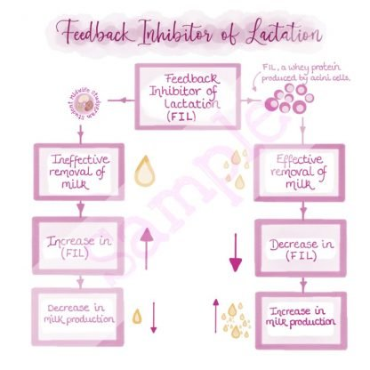 Feedback Inhibitor of Lactation Flashcard