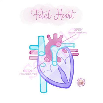 Fetal Heart Flashcard