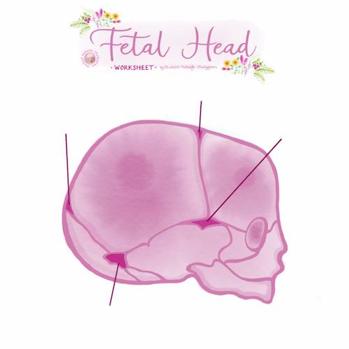Fetal Head Worksheet
