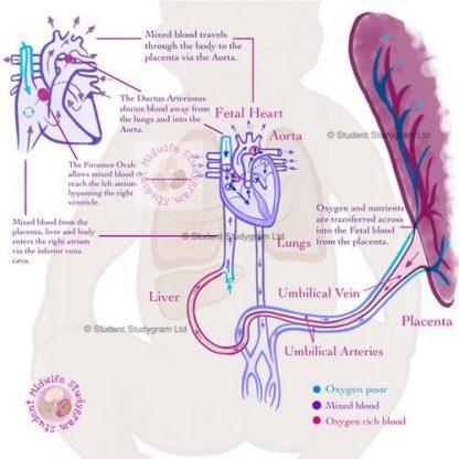 Fetal Circulation Thumbnail